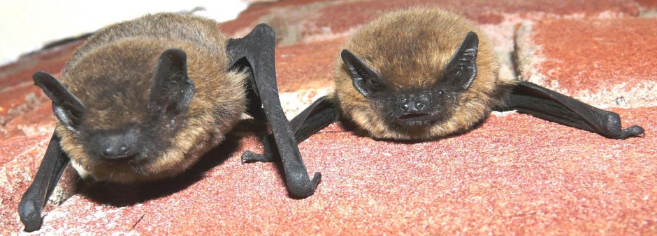 bats in west yorkshire west yorkshire bat group